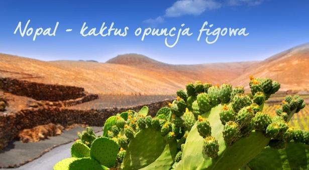 Nopal – kaktus dobroczynny dla zdrowia