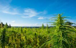 Konopie czy marihuana?